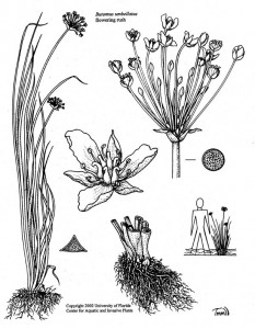 Flowering-Rush-Diagram